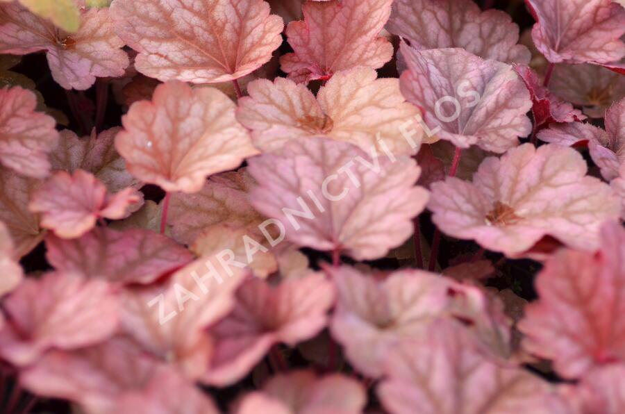 Dlužicha 'Berry Smoothie' - Heuchera hybrida 'Berry Smoothie'