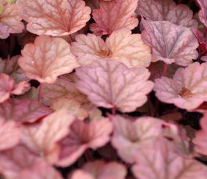 Dlužicha 'Berry Smoothie' - Heuchera hybrida 'Berry Smoothie'