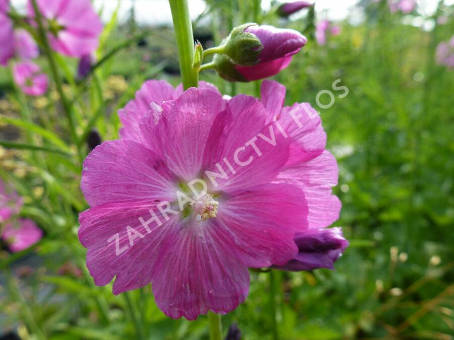 Slézovník jabloňokvětý 'Stark's Hybrids' - Sidalcea malviflora 'Stark's Hybrids'