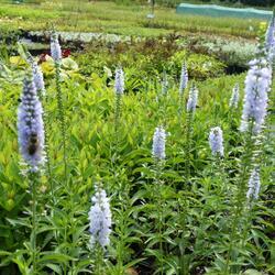 Rozrazil dlouholistý 'Lila Karina' - Veronica longifolia 'Lila Karina'