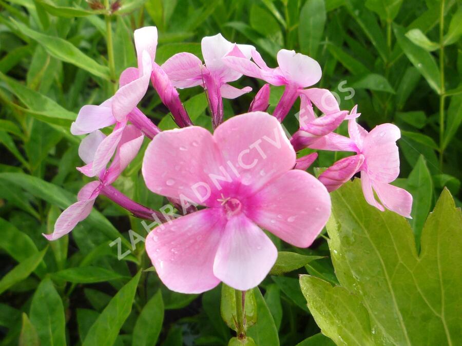 Plamenka latnatá 'Sweet Summer Compact Rose White' - Phlox paniculata 'Sweet Summer Compact Rose White'