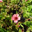 Mochna nepálská 'Shogran' - Potentilla nepalensis 'Shogran'