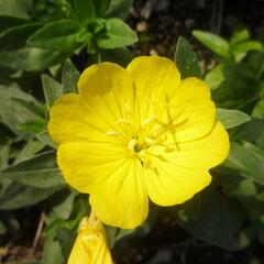 Pupalka 'Michelle Ploeger' - Oenothera fruticosa 'Michelle Ploeger'