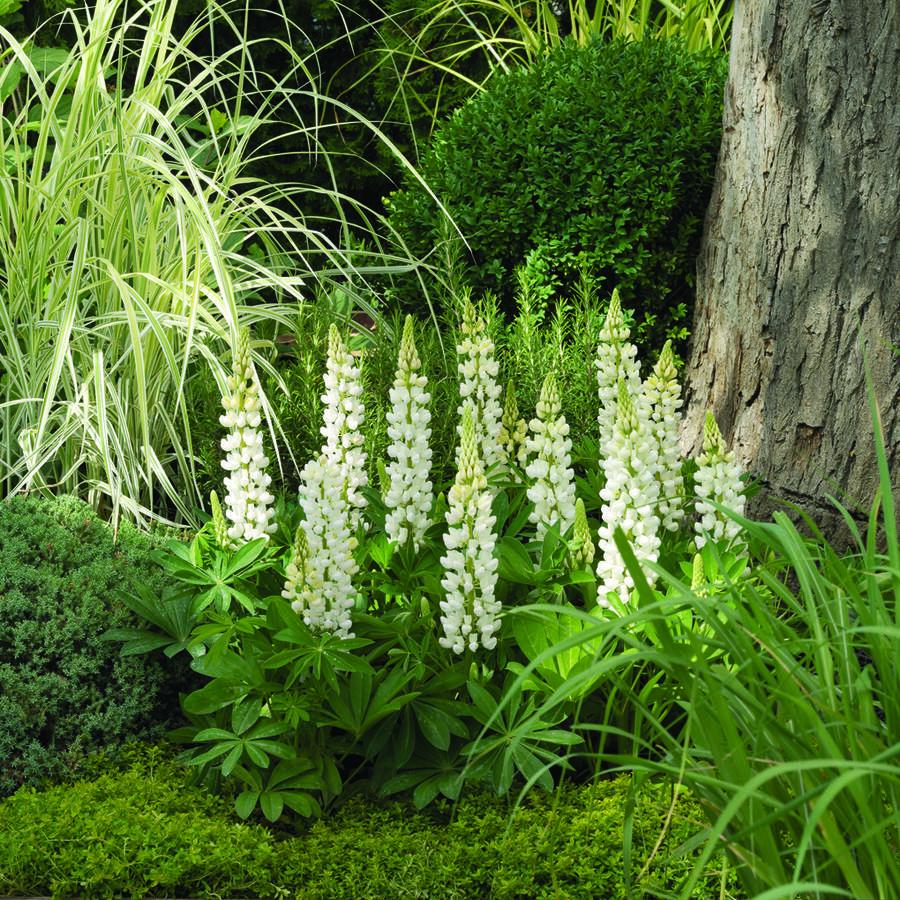 Lupina mnoholistá 'Camelot White' - Lupinus polyphyllus 'Camelot White'