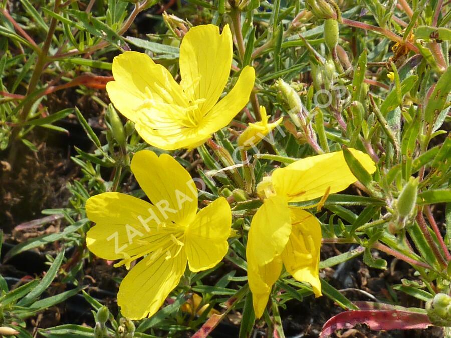 Pupalka čtyřhranná 'Cold Crick' - Oenothera tetragona 'Cold Crick'