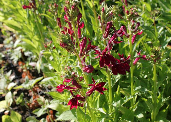 Lobelka 'Fan Burgundy' - Lobelia speciosa 'Fan Burgundy'