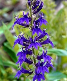 Lobelka 'Fan Blue' - Lobelia speciosa 'Fan Blue'