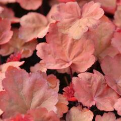 Dlužicha 'Autumn Leaves' - Heuchera hybrida 'Autumn Leaves'