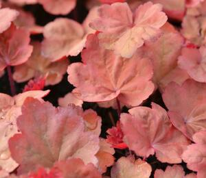 Dlužicha 'Autumn Leaves' - Heuchera hybrida 'Autumn Leaves'