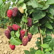 Malinoostružina 'Tayberry' - Rubus hybridus 'Tayberry'