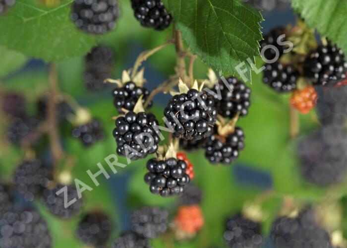 Ostružiník křovitý 'Himalaya' - Rubus fruticosus 'Himalaya'