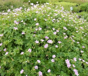 Kakost 'Lady Moore' - Geranium x oxonianum 'Lady Moore'