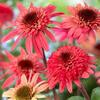Třapatka nachová 'Raspberry Truffle' - Echinacea purpurea 'Raspberry Truffle'