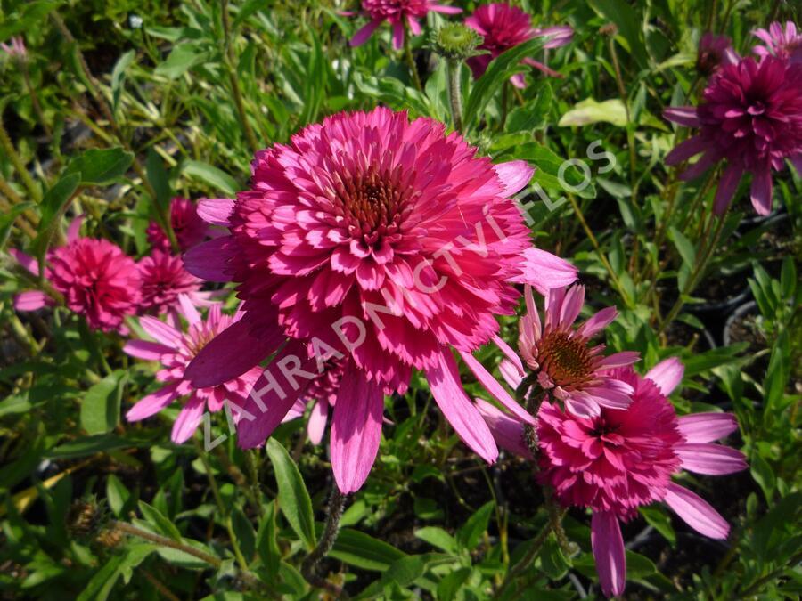 Třapatka nachová 'Southern Belle' - Echinacea purpurea 'Southern Belle'