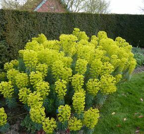 Pryšec hnědokvětý 'Shorty' - Euphorbia characias ssp. wulfenii 'Shorty'