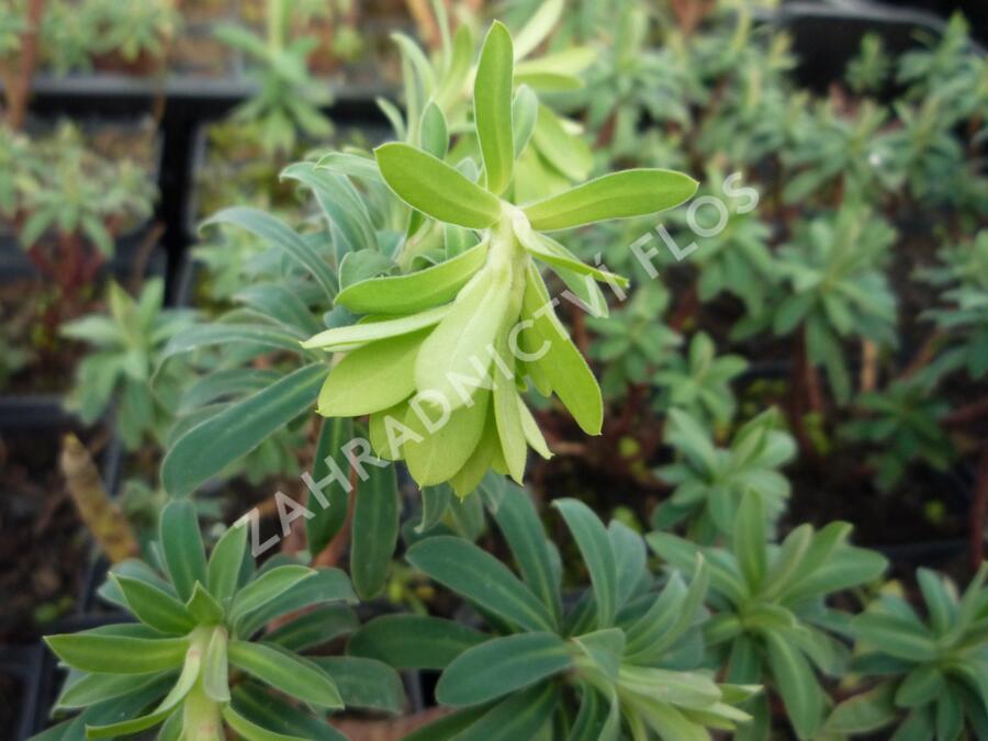 Pryšec hnědokvětý 'Black Pearl' - Euphorbia characias 'Black Pearl'