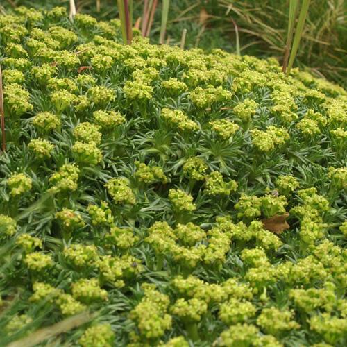 Azorela třídílná - Azorella trifurcata
