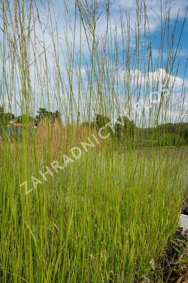 Bezkolenec rákosovitý 'Transparent' - Molinia arundinacea 'Transparent'