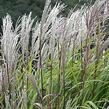 Ozdobnice čínská 'Kleine Silberspinne' - Miscanthus sinensis 'Kleine Silberspinne'