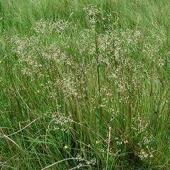 Metlička křivolaká - Deschampsia flexuosa