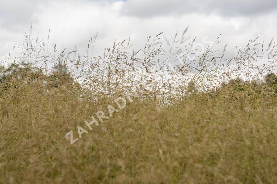 Metlice trsnatá 'Tauträger' - Deschampsia caespitosa 'Tauträger'
