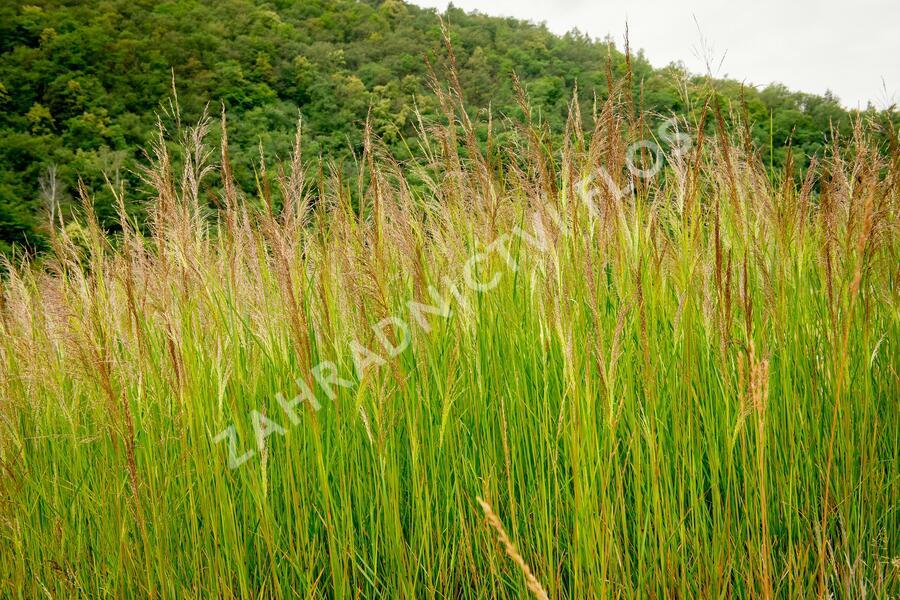 Metlice trsnatá 'Schottland' - Deschampsia caespitosa 'Schottland'