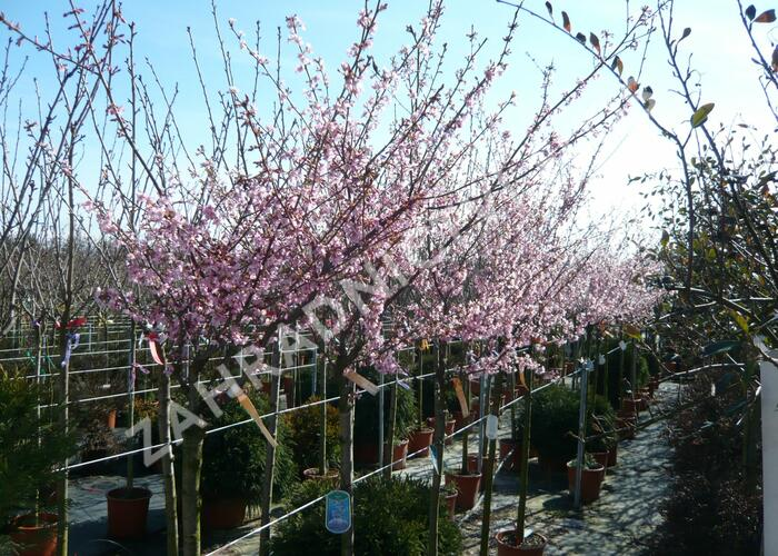 Třešeň 'Okame' - Prunus 'Okame'