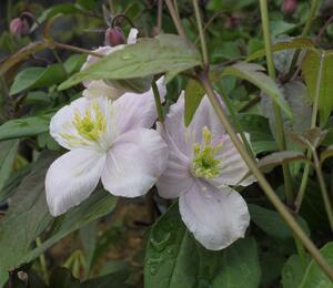 Plamének horský 'Tetrarose' - Clematis montana 'Tetrarose'