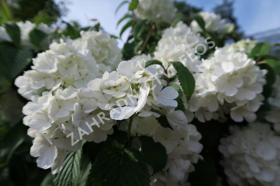 Kalina japonská 'Newport' - Viburnum plicatum 'Newport'