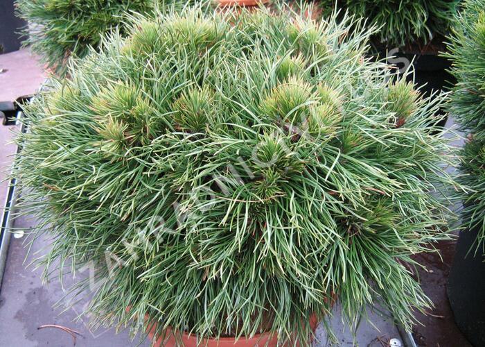 Borovice kleč 'Varella' - Pinus mugo 'Varella'