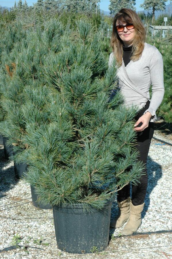 Borovice limba 'Glauca' - Pinus cembra 'Glauca'