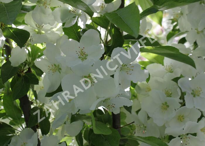 Okrasná jabloň 'Adirondack' - Malus 'Adirondack'