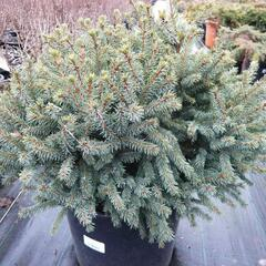 Smrk sivý 'Echiniformis' - Picea glauca 'Echiniformis'