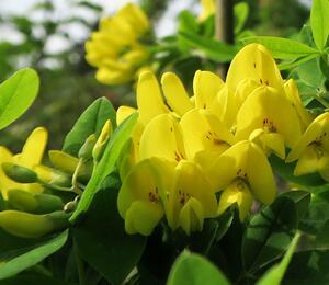Štědřenec odvislý - Laburnum anagyroides var. alschingeri
