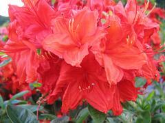 Azalka 'Hotspur Red' - Azalea (KH) 'Hotspur Red'