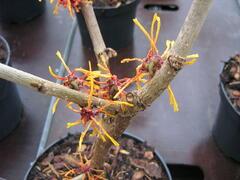 Vilín prostřední 'Aphrodite' - Hamamelis intermedia 'Aphrodite'