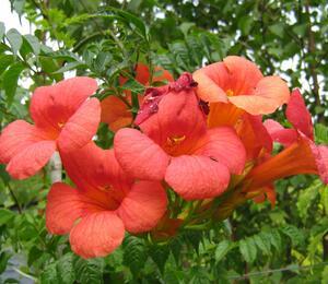 Trubač velkokvětý - Campsis grandiflora