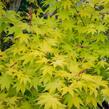 Javor dlanitolistý 'Aureum' - Acer palmatum 'Aureum'