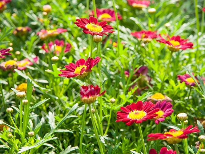 Kopretina pařížská 'Aramis Deep Red' - Argyranthemum frutescens 'Aramis Deep Red'