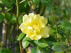 Růže pnoucí 'Lichtkönigin Lucia' - Rosa PN 'Lichtkönigin Lucia'