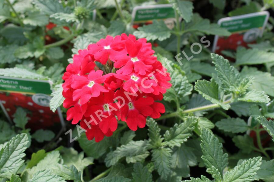Verbena, sporýš 'Samira Red' - Verbena peruviana 'Samira Red'