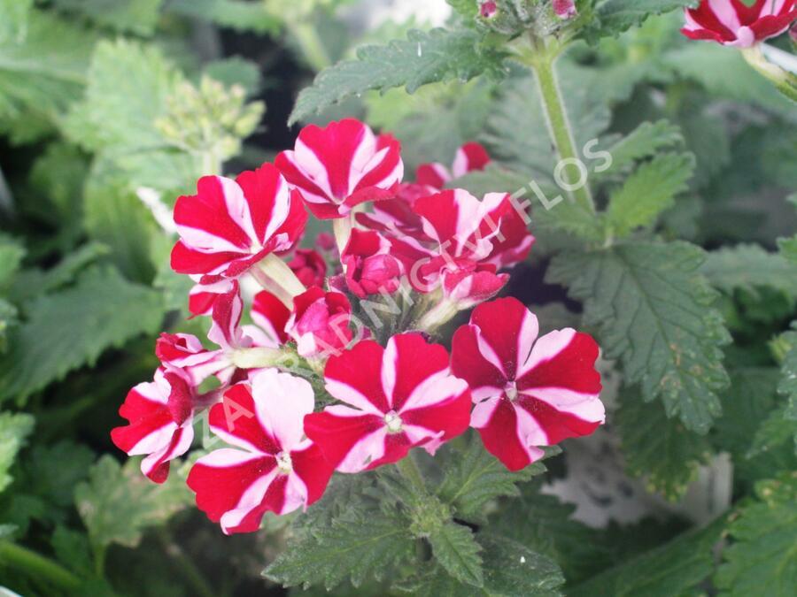 Verbena, sporýš 'Star Dream Deep Red Star' - Verbena hybrida 'Star Dream Deep Red Star'