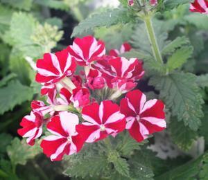 Verbena, sporýš 'Samira Deep Red Star' - Verbena peruviana 'Samira Deep Red Star'