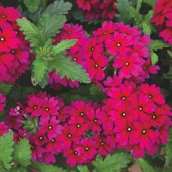 Verbena, sporýš 'Empress Sun Cherry' - Verbena hybrida 'Empress Sun Cherry'