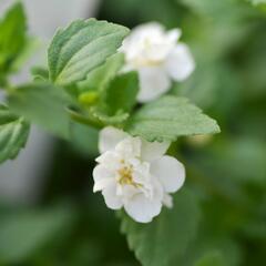Bakopa 'Baristo Double White' - Sutera diffusus 'Baristo Double White'