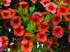 Minipetunie, Million Bells 'Sweetbells Orange' - Calibrachoa hybrida 'Sweetbells Orange'
