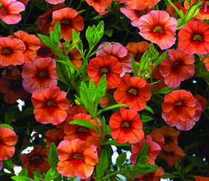 Minipetunie, Million Bells 'Sweetbells Orange' - Calibrachoa hybrida 'Sweetbells Orange'