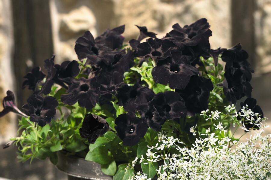 Petúnie 'Sweetunia Black Satin' - Petunia hybrida 'Sweetunia Black Satin'