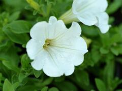 Petúnie 'White' - Petunia hybrida Surfinia 'White'