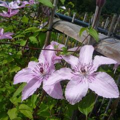 Plamének 'Hagley Hybrid' - Clematis 'Hagley Hybrid'